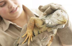 Kvinnelig dyrepasser ser til iguan i dyrehage.