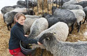 Kvinnelig bonde mater sauer