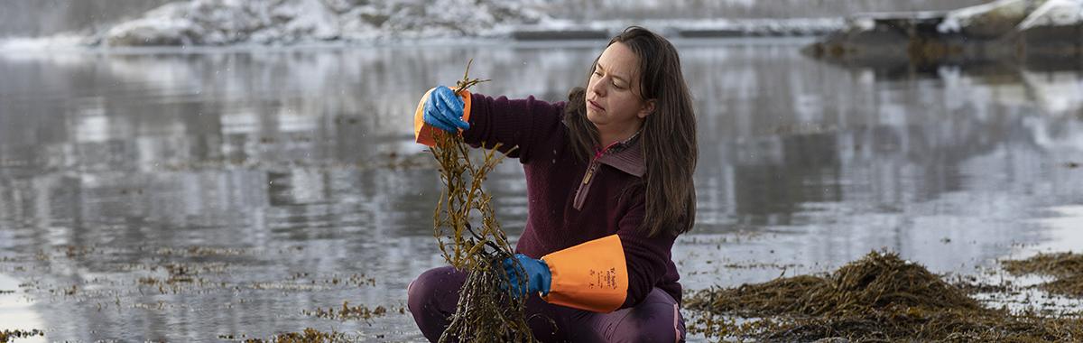 En marinbiolog undersøker tang i fjæra